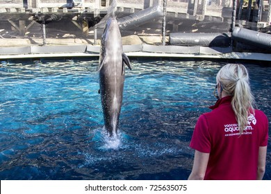 Vancouver, BC Aug 21, 2017 - Chester, the False Killer Whale performs for his trainer at the Vancouver Aquarium