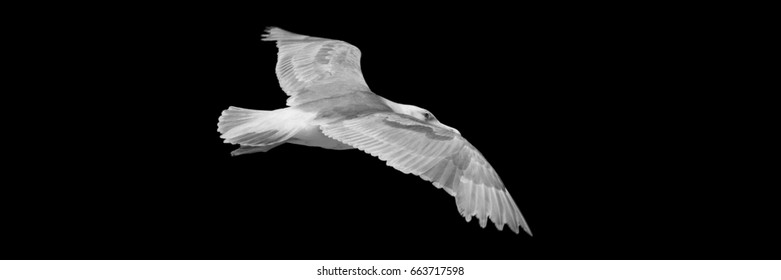 Vancouver BC, Canada:  Black and white image of seagull in the sky.
