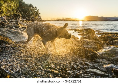 Vancouver, BC, Canada - Jun 12, 2014.  Labrador retriever shaking after a swim in the ocean at sunset, backlit.