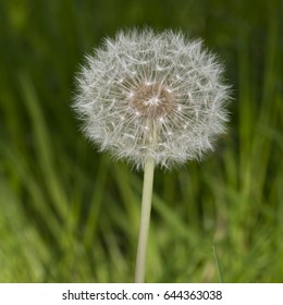 Vancouver BC, Canada:  The seed head of a Dandelion on a sunny Spring morning.