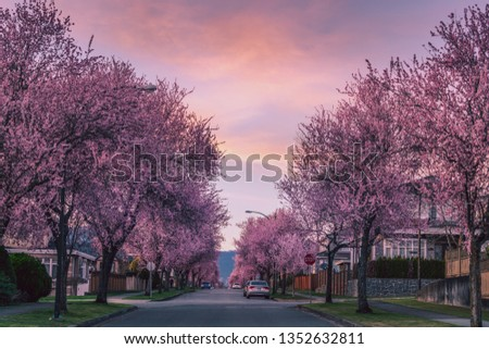 Vancouver BC Canada,March 27,2019.Cherry blossoms with sunset sky backgrounds