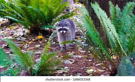 Vancouver, Canada - november 17, 2019: Beautiful raccoon strolling around Stanley Park