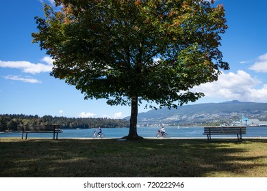 VANCOUVER, CANADA - SEPTEMBER 11, 2016: cyclists ride through Stanley Park past a tree just breaking into autumn leaf.  Lion's Gate bridge and North Vancouver are visible in the distance.