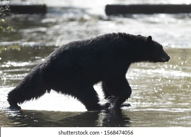 A Vancouver Island black bear takes a long stride across a water way.