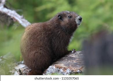 Vancouver Island Marmot, Marmota vancouverensis,  Mount Washington, Vancouver Island, BC, Canada