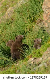 Vancouver Island marmot pups