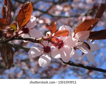 Vancouver's Cherry Blossoms 2019