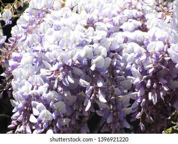 Vancouver's Japanese Wisteria Blooming in May 2019