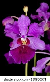 Vanda Miss Joaquim, Singapore's National Flower; Non sharpened file
