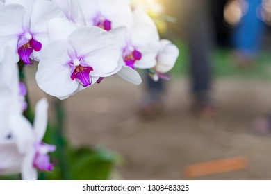 vanda orchid. Orchidaceae. vanda orchids are available in pink, white, and red. Beautiful flower garden. Orchid garden. And rare orchid species.Floral background