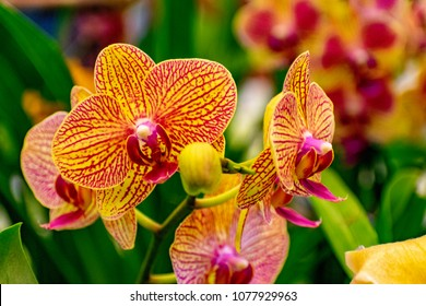 Vanda or Vandas orchid flowers with Hybrid colors of yellow ,red and pink