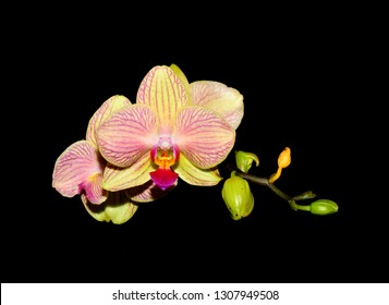 Vanda or Vandas orchid flowers with hybrid colors of yellow, red and pink.