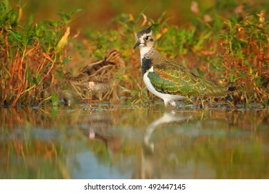 Vanellus vanellus, Northern Lapwing, european bird, wader in shallow water, among water grass with Common Snipe. Ground level photo in colorful, orange light. Early autumn, wetlands, Czech republic.
