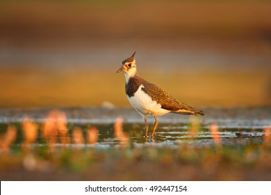 Vanellus vanellus, Northern Lapwing, european bird, wader in shallow water, searching for insects. Ground level photo in colorful, first orange light. Early autumn, wetlands, Czech republic.