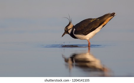 Vanellus vanellus / Northern Lapwing / Kiebitz - at the shore of the Curonian lagoon, Lithuania