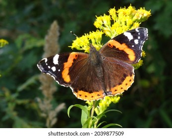 Vanessa atalanta, the red admiral or, previously, the red admirable on Solidago canadensis, known as Canada goldenrod or Canadian goldenrod.