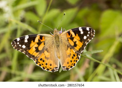 Vanessa cardui, Painted Lady butterfly from Lower Saxony, Germany