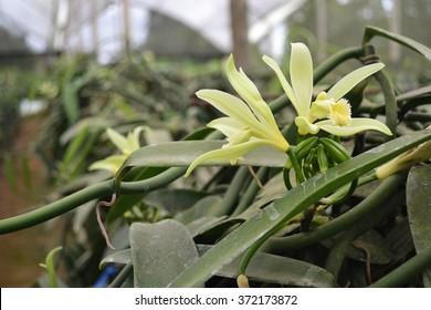 Vanilla flower in plant