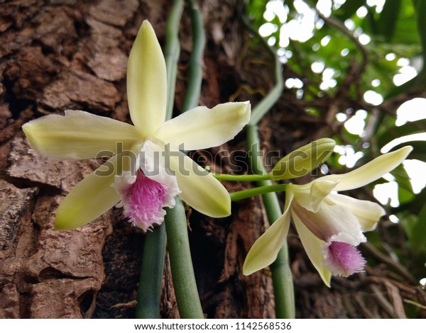Vanilla aphyllais aspeciesofvanilla orchid. This beautiful orchid is a vine. It uses its fleshy roots to support itself as it grows.