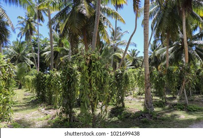 Vanilla plantation. La Digue island rural landscape. Nature of Seychelles islands
