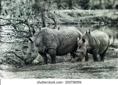 Vanishing Africa: vintage style image of White Rhinoceroses in Hlane National Park, Swaziland
