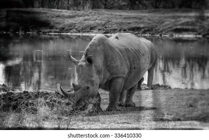 Vanishing Africa: vintage style image of a White Rhinoceros in Hlane National Park, Swaziland