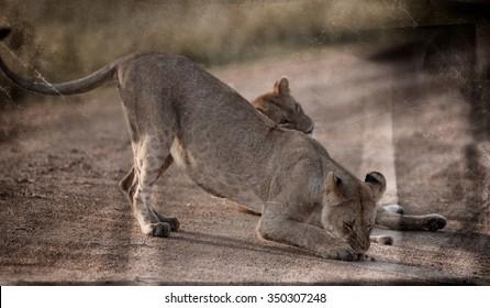 Vanishing Africa: vintage style image of African Lions in the Maasai Mara National Park, Kenya
