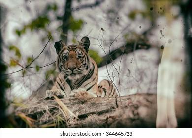 Vanishing Indian wildlife: Vintage style image of a Large male Bengal tiger in Bandhavgarh National Park, India