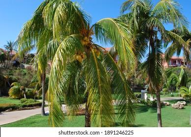 Varadero, Cuba: Palm tree with coconuts