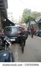 VARANASI, INDIA - DEC 22, 2019 - Black cow meanders the narrow street, blocking traffic in Varanasi, India