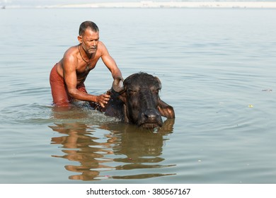 VARANASI, INDIA - DECEMBER 1: Unidentified Hindu washes a sacred cow in Ganga river on December 1, 2012 in Varanasi, India. Ganges River, Hindi Ganga, great river of the plains of the northern India.