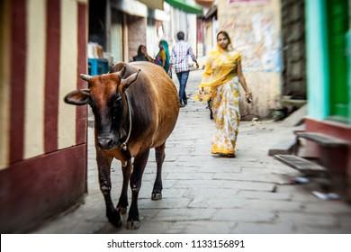 VARANASI - NOVEMBER 22: Unidentified hindu woman  and sacred cow on the streets of sacred Varanasi old town on November 22, 2012 in Varanasi, State of Uttar Pradesh, India