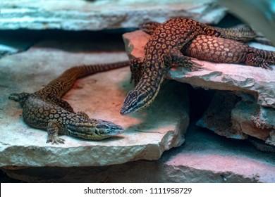 Varanus acanthurus asian lizard portrait