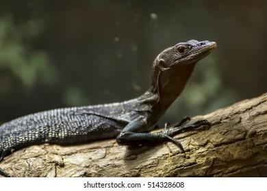 Varanus beccarii, also known as Black Tree Monitor