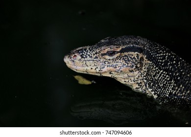 Varanus bengalesis desert monitor; monitor lizard