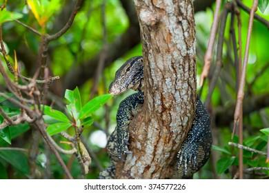 Varanus on a tree in Sri Lanka forest