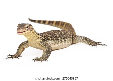 Varanus salvator, commonly known as Asian Water Monitor sitting on a white background with an attentive expression and open mouth.