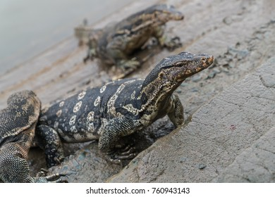 Varanus salvator, commonly known as Asian Water Monitor sitting on concrete background