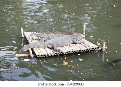 Varanus salvator doing Sun bath