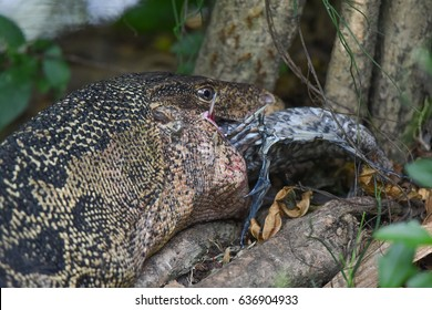 Varanus salvator Injury eat tilapia in garden