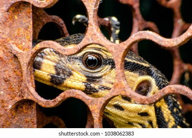 Varanus salvator lizard In the nick  enclosure Trapdoor(Varanus bengalensis nebulosus)