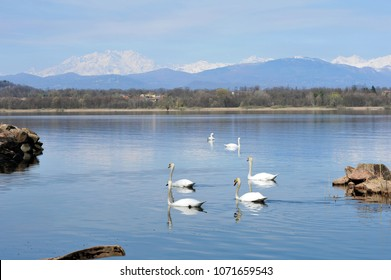 Varese, Italy, swans of the Varese lake