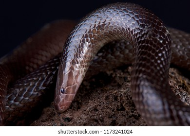 The Variable burrowing asp (Atractaspis irregularis) is a nocturnal and terrestrial snake species found across large parts Africa. They are highly venomous and considered deadly for humans.