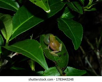Variable Bush Frog (Raorchestes akroparallagi)