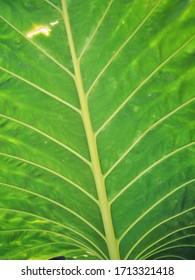 The variation of Caladium bicolor plant
