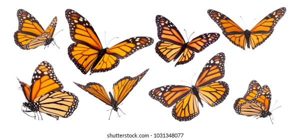Variation on different positions of the beautiful Monarch butterfly