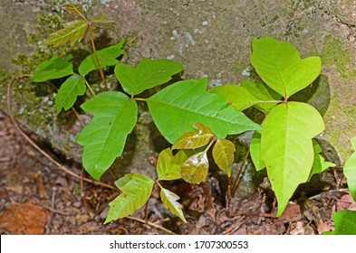 Variations in poison ivy leaves make for easy identification of the plant to avoid the allergic reactions. The green leaves are in a natural cluster on the forest floor against a rock backdrop.