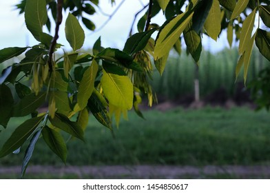 Varicolored linden leaves. Linden branch with green linden leaf, selective focus. Colorful linden leaves in beautiful light. Spring leaves background. Sun rays on leaves.