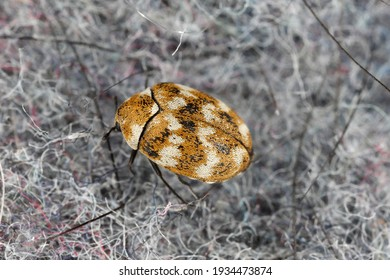 Varied carpet beetle Anthrenus verbasci home and storage pest. The larva of this beetle is a pest of clothes made of natural animal raw materials - leather, wool, hair. Insect on fabric.