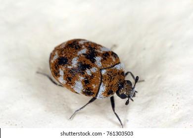 varied carpet beetle Anthrenus verbasci home and storage pest